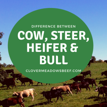 Difference between a bull and steer, cow vs heifer - Clover Meadows Beef