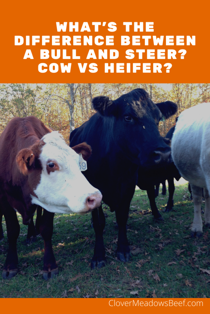Difference between a steer vs bull and cow vs heifer - Clover Meadows Beef