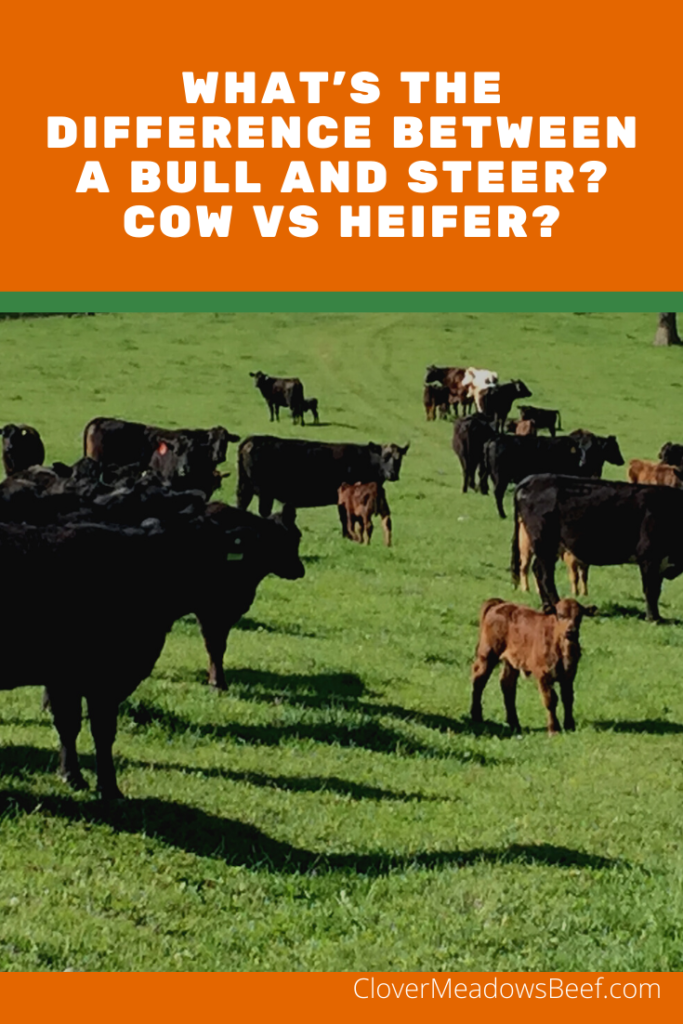 Difference between steer vs bull and cow vs heifer - Clover Meadows Beef