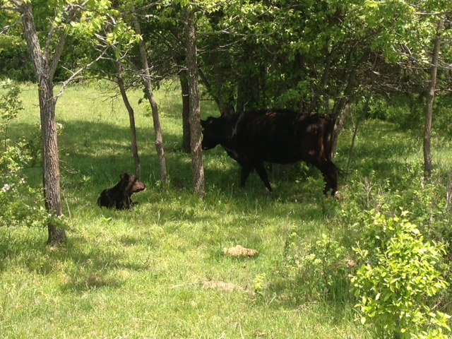 Mom and Baby Calf at Clover Valley Beef