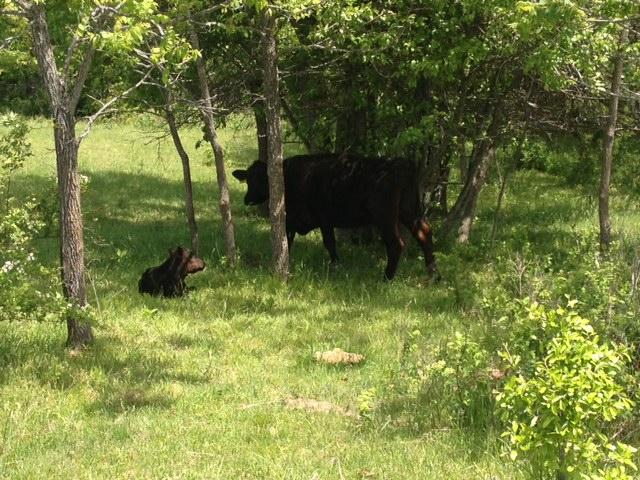 Peekaboo at Clover Valley Beef
