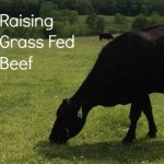 How We Raise Our Grass Fed Beef