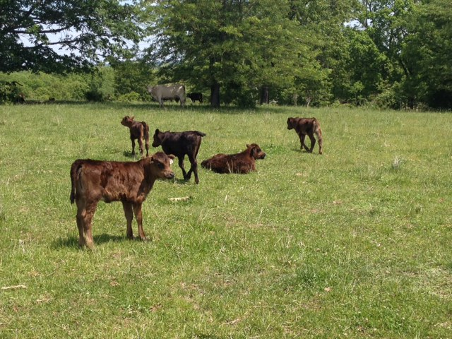 Spring calves Clover Valley Beef