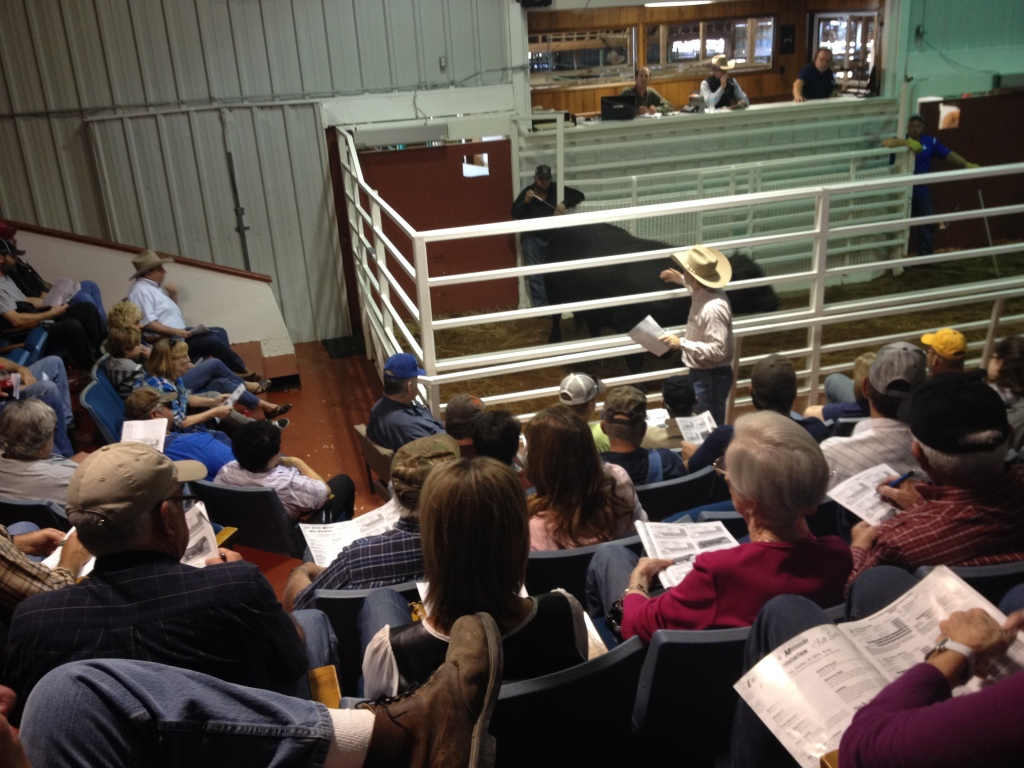 We bought Big Buck from an auction. The auctioneer is in the front and faces the audience so he can watch for bids.