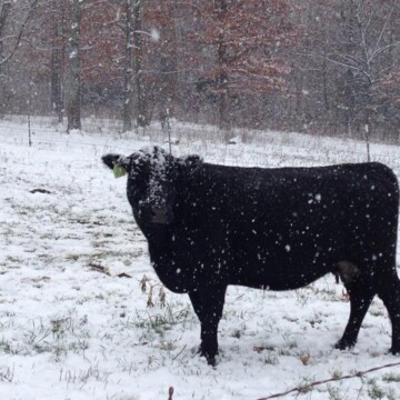 snow and cows | clover meadows beef grass fed beef st louis missouri STL