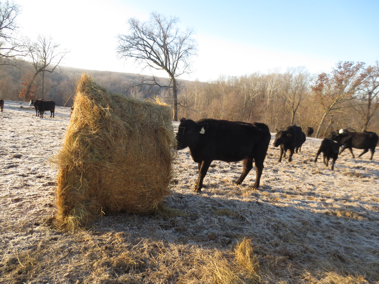 what do cattle eat in winter. do cows get cold in winter.