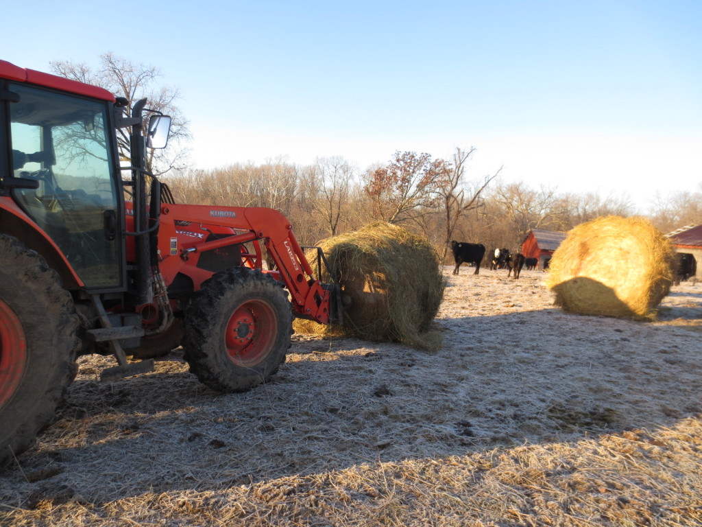 feeding cattle hay bales in winter. what do cows eat in winter.