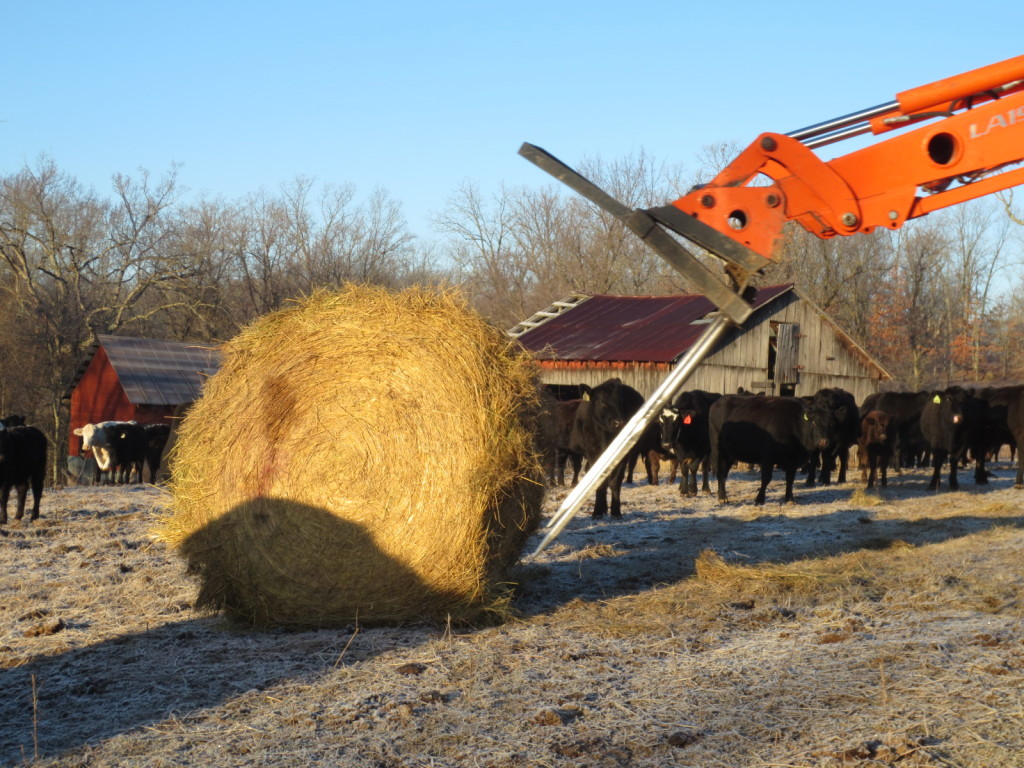 feeding cattle hay bales in winter. what do cattle eat in winter.