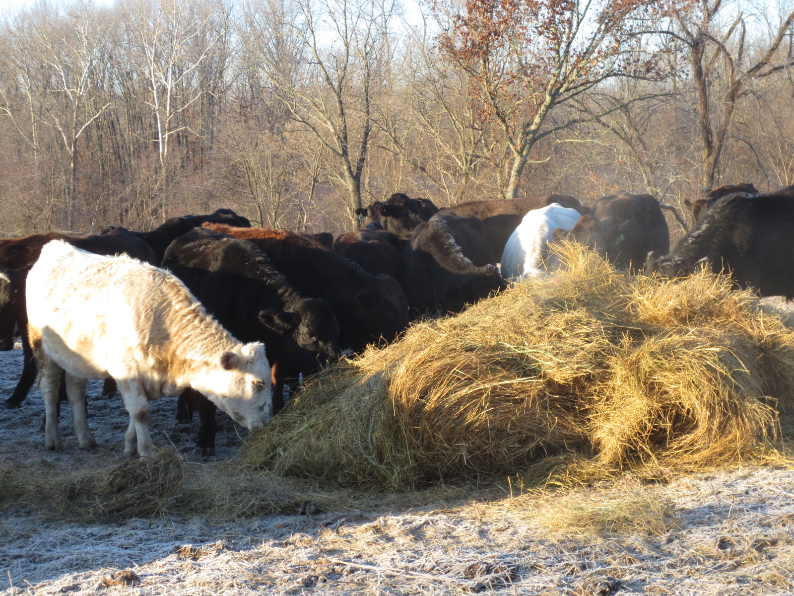 what do cattle eat in winter. making hay to feed cattle in winter.