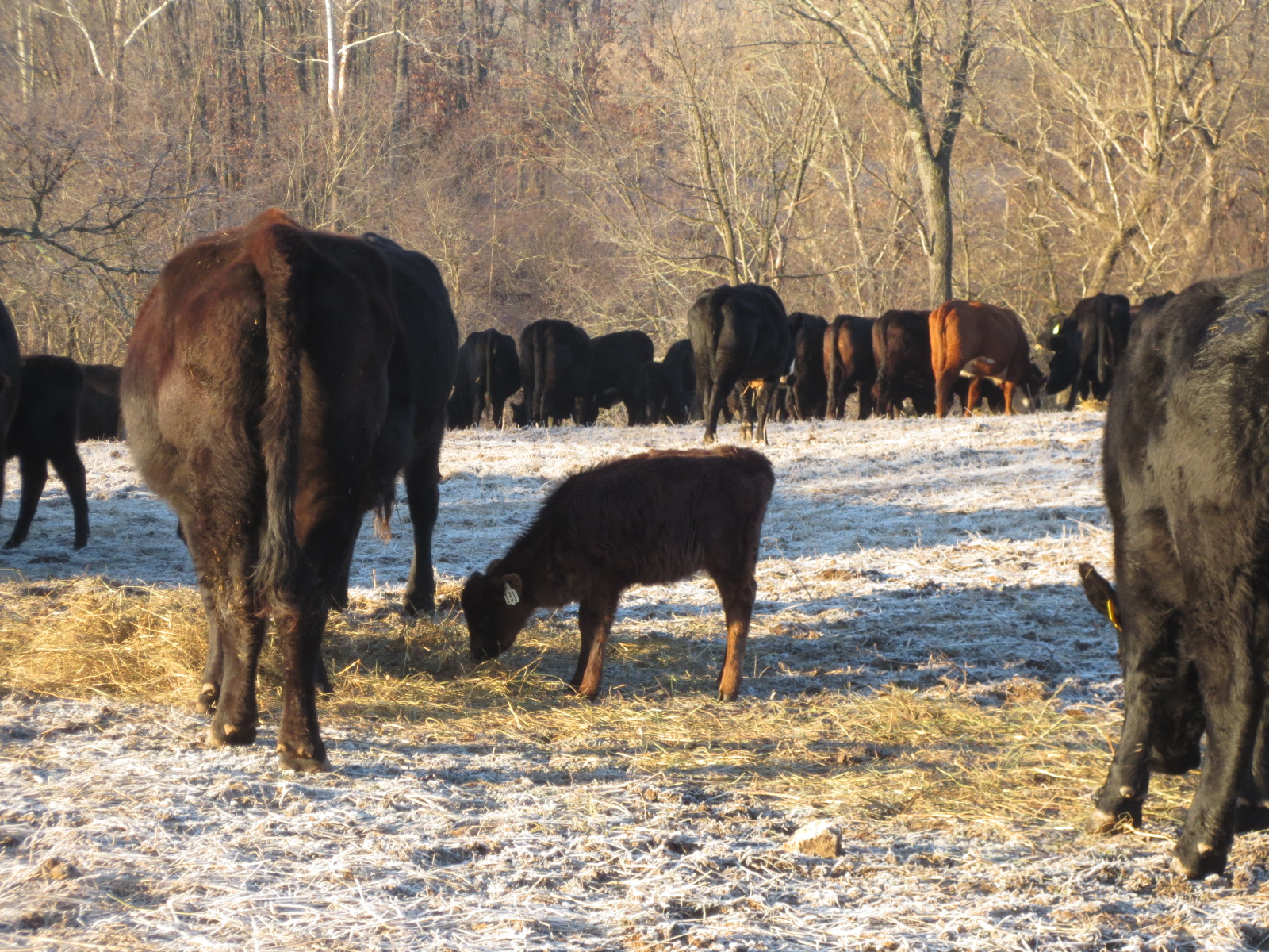 winter on the farm. what do cattle eat in winter. do cows get cold in winter.