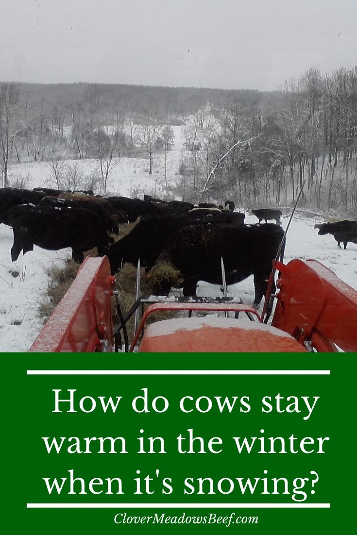 how do cows stay warm in winter - snow cow - clover meadows beef grass fed beef st louis missouri all natural beef