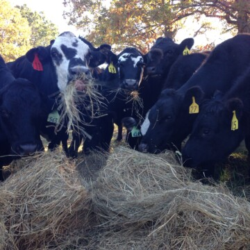 Cows and Hay