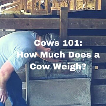 How much does a cow weigh video