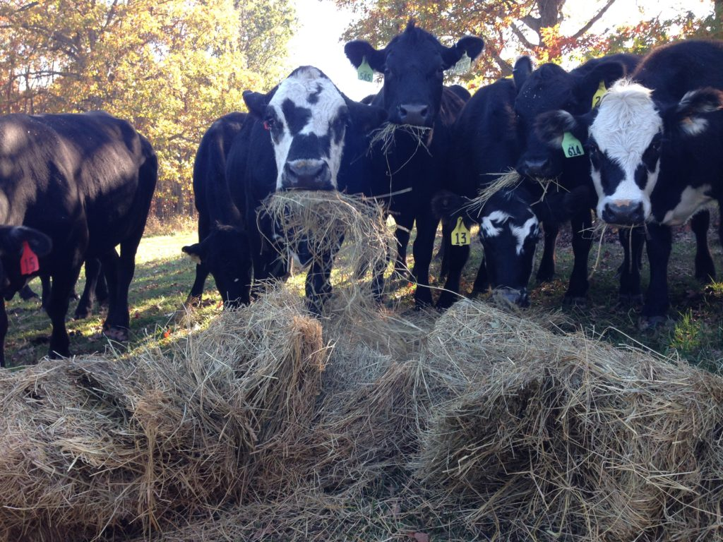 Cattle eating hay -  Clover Meadows Beef Local Grass Fed Beef St. Louis