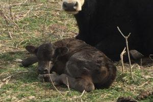 Cows 101: Where are baby calves born? (Video)
