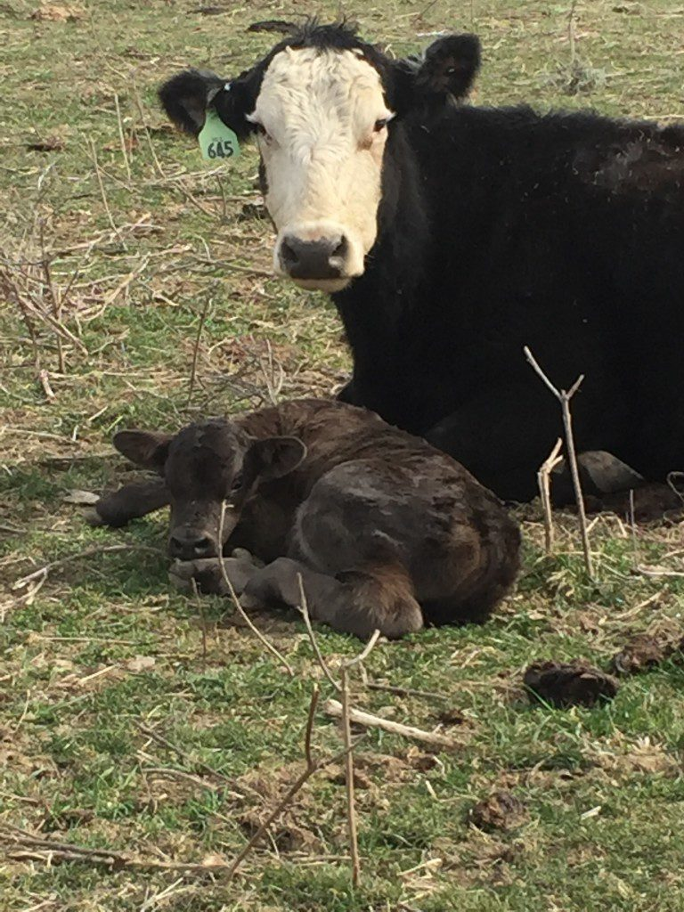 Baby Calf | Clover Meadows Beef