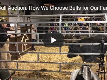bull auction   Clover Meadows Beef Grass Fed Beef St Louis Missouri