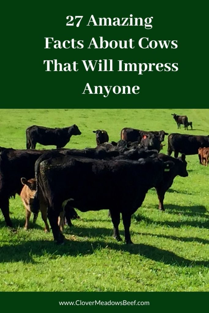 Facts-About-Cows-Clover-Meadows-Beef-Grass-Fed-Beef-St.-Louis-Missouri