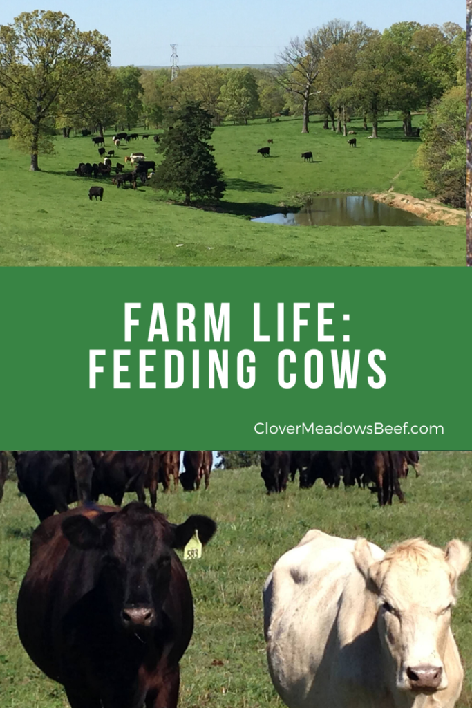 feed cows on farm