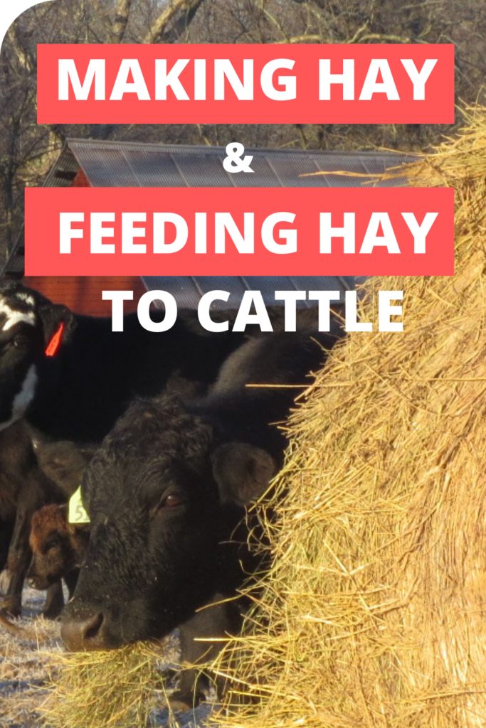 making hay and feeding hay to cattle - clover meadows beef grass fed beef